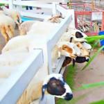 Chonburi: Pattaya Sheep Farm Admission Ticket